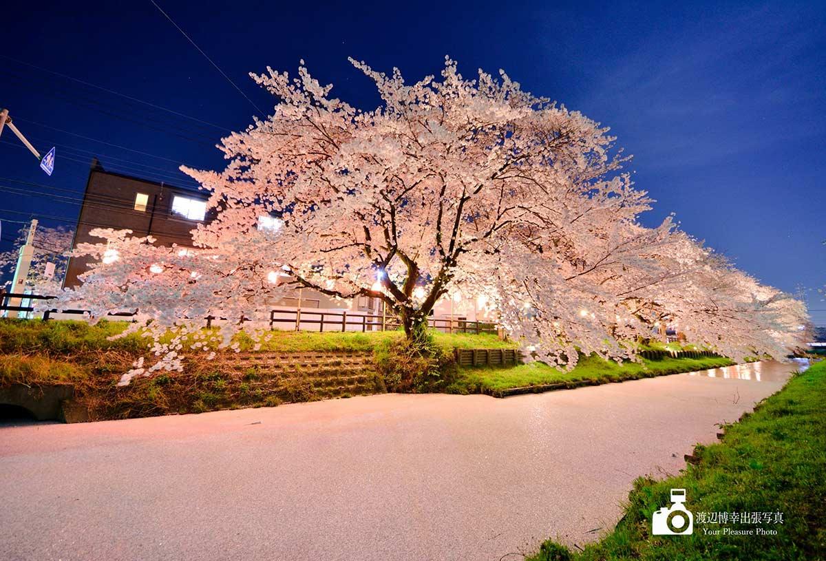 夜桜と花筏