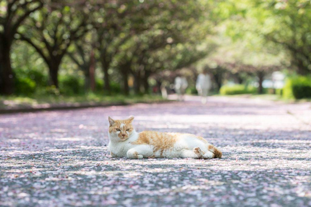 桜散る道に横たわる猫