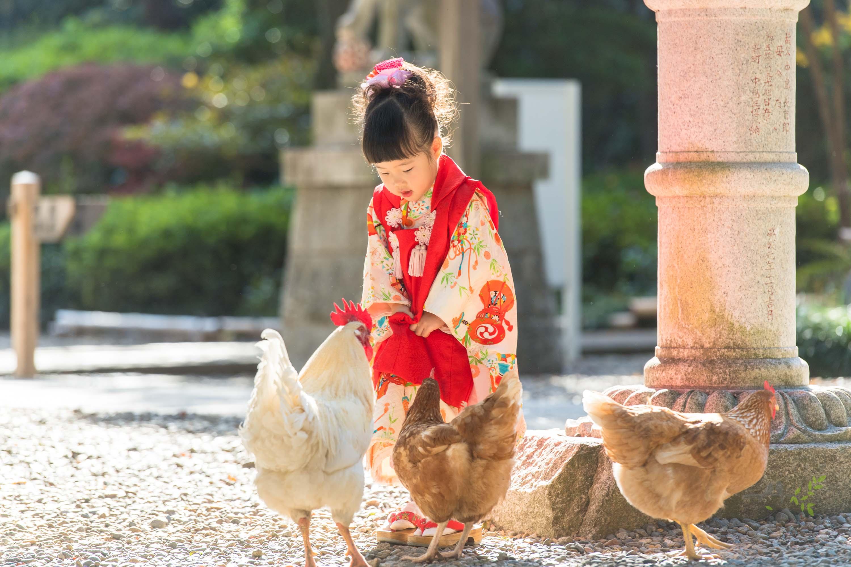 七五三の着物姿の女の子とニワトリ数羽